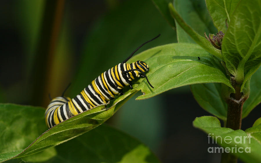 Monarch Photograph - Two Caterpillars by Steve Augustin