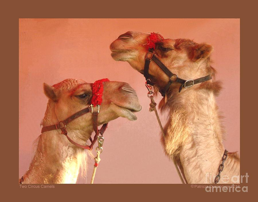 Animals Photograph - Two Circus Camels by Patricia Overmoyer