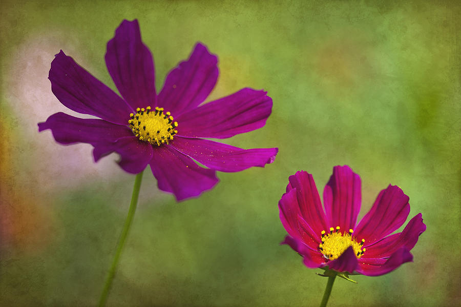 Flower Photograph - Cosmos by Amy Jackson