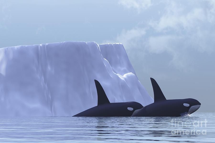 Animal Digital Art - Two Killer Whales Swim Near An Iceberg by Corey Ford