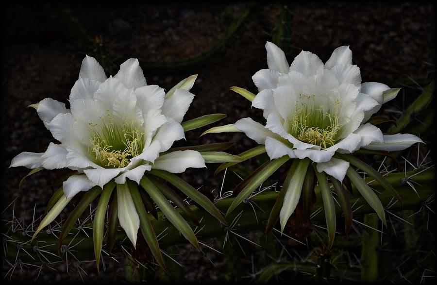 White Echinopsis Flowers Photograph - Two Of A Kind  by Saija  Lehtonen