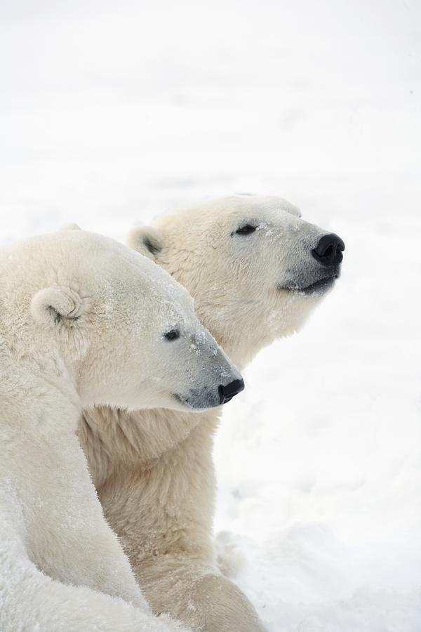 Affectionate Photograph - Two Polar Bears Ursus Maritimus Showing by Richard Wear