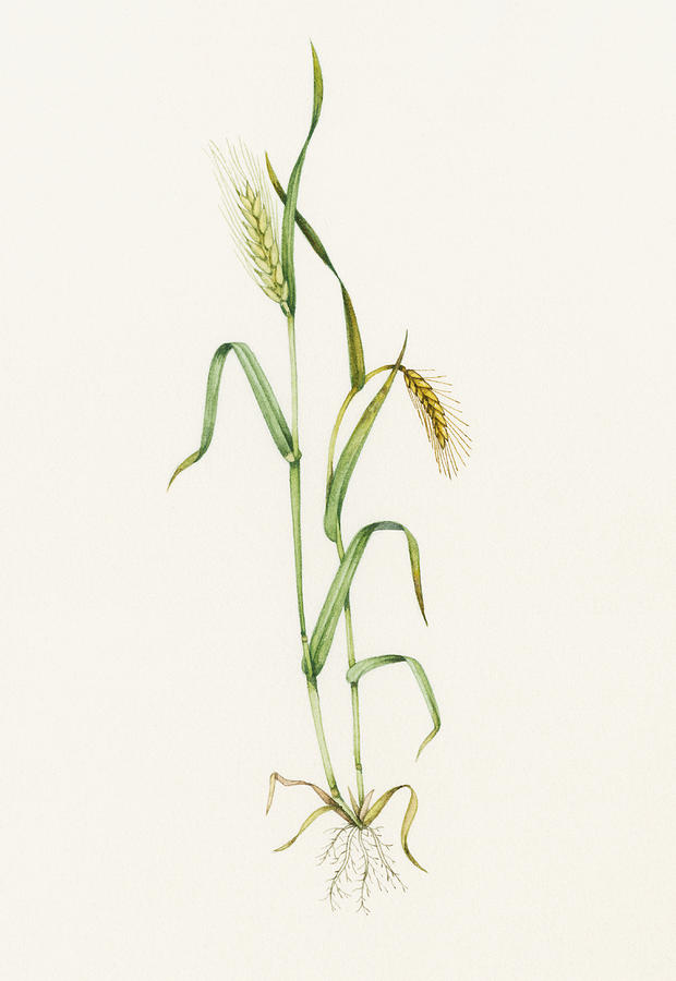 Two-row Barley Photograph - Two-row Barley (hordeum Distichum) by Lizzie Harper