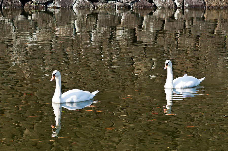 Animals Photograph - Two Swan Floating On A Pond  by U Schade