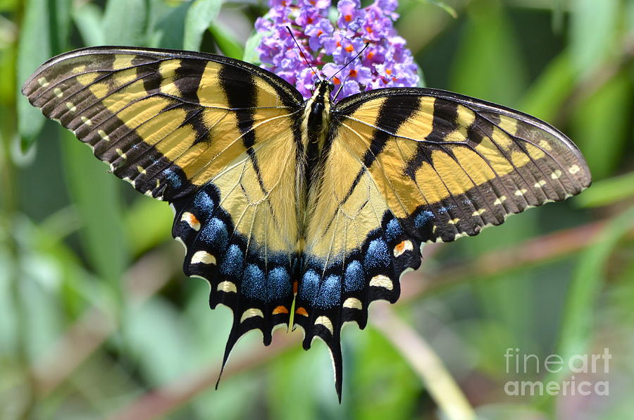Butterfly Photograph - Two Tailed Swallowtail by Kathy Gibbons