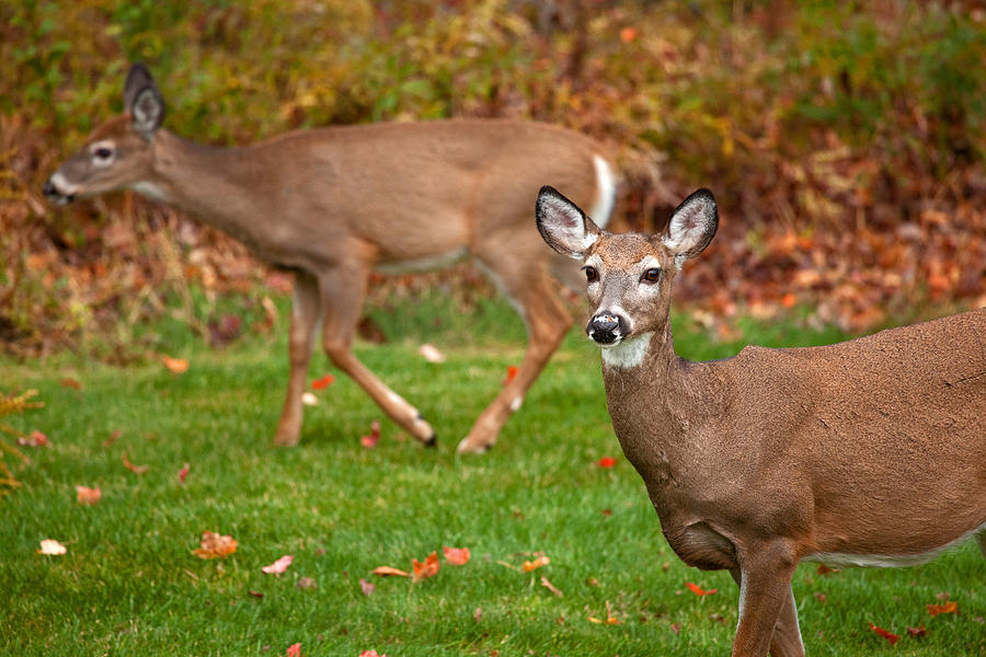 Deer Photograph - Two Visitors by Karol Livote