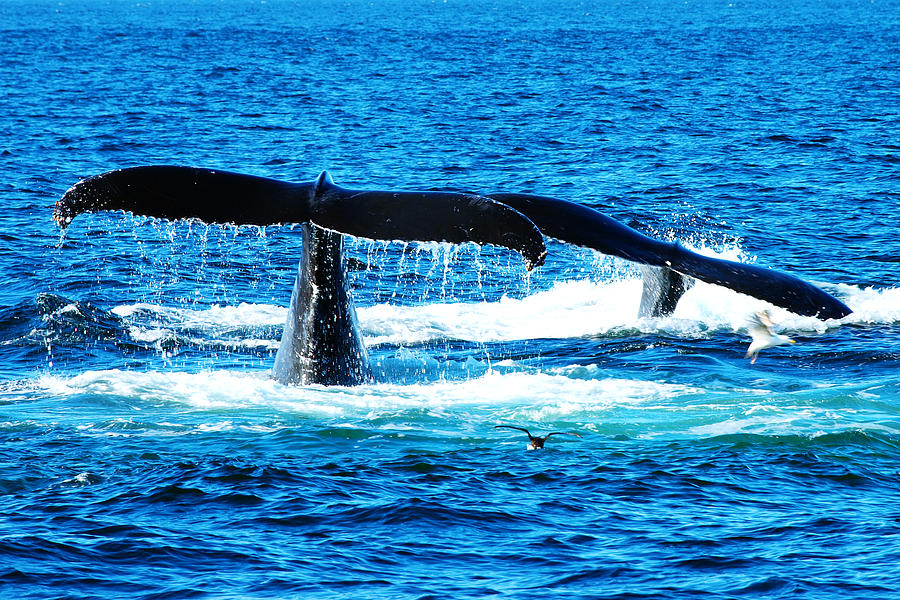 Couple Photograph - Two Whale Tails by Paul Ge