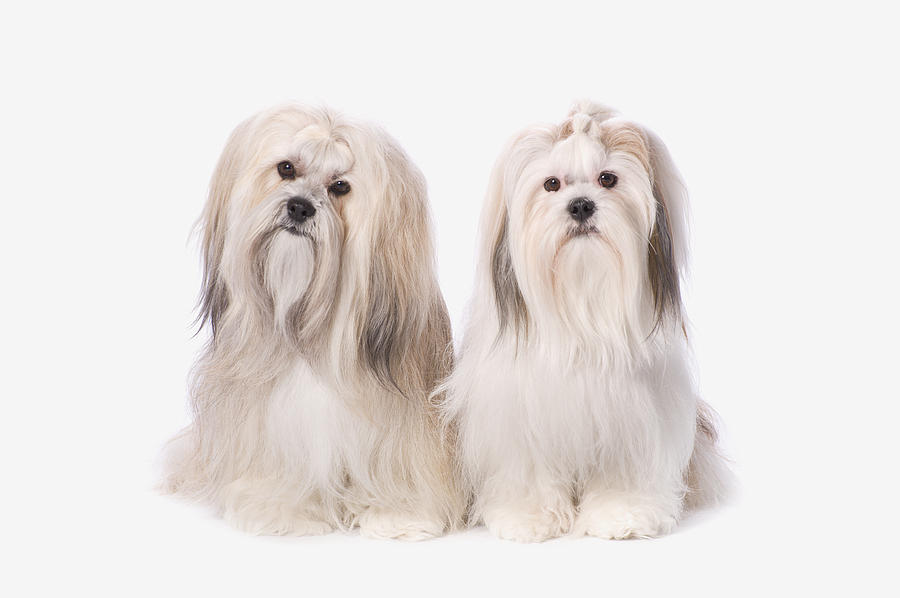 Calm Photograph - Two White Lhasa Apso Puppies St. Albert by Corey Hochachka