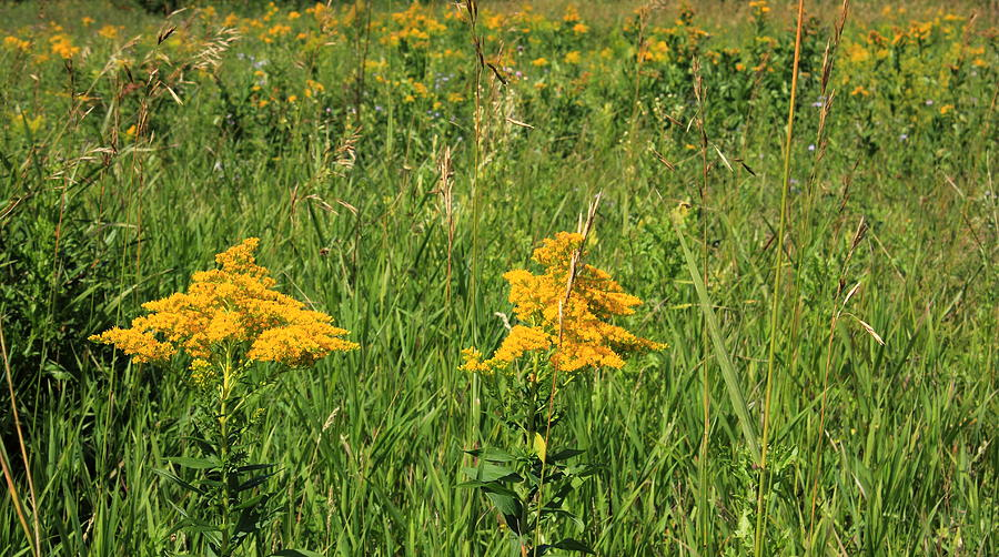 Flowers Photograph - Two Yellow Wildflowers by Jim Sauchyn