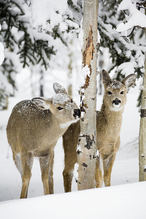 two young deer in a snow covered forest photograph by michael interisano. Black Bedroom Furniture Sets. Home Design Ideas