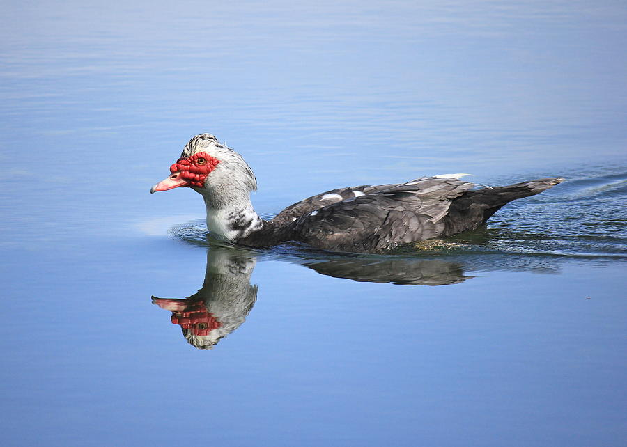 Muscovy Duck Photograph - Ugly Duckling by Penny Meyers