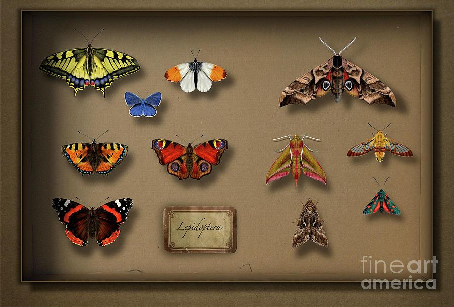 Uk Butterflies Uk Moths - British Butterflies British Moths - European Butterflies  European Moths Painting