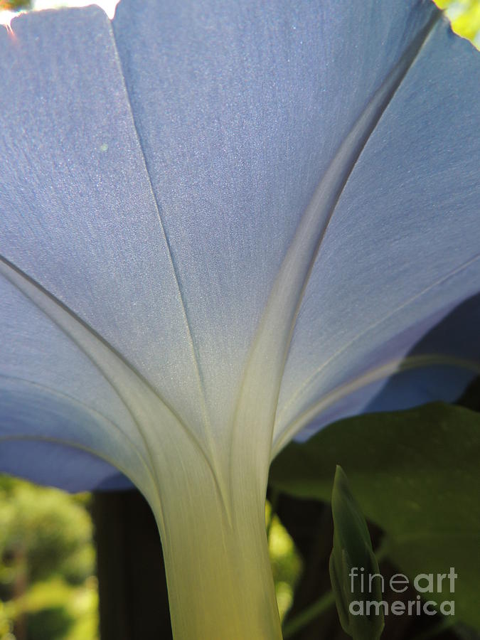 Morning Glory Photograph - Under The Morning Glory by Mariah Stone