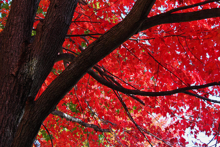 Fall Photograph - Under The Reds by Rachel Cohen