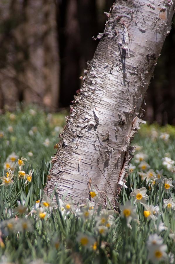 Daffodil Photograph - Under Tree by Ron Smith