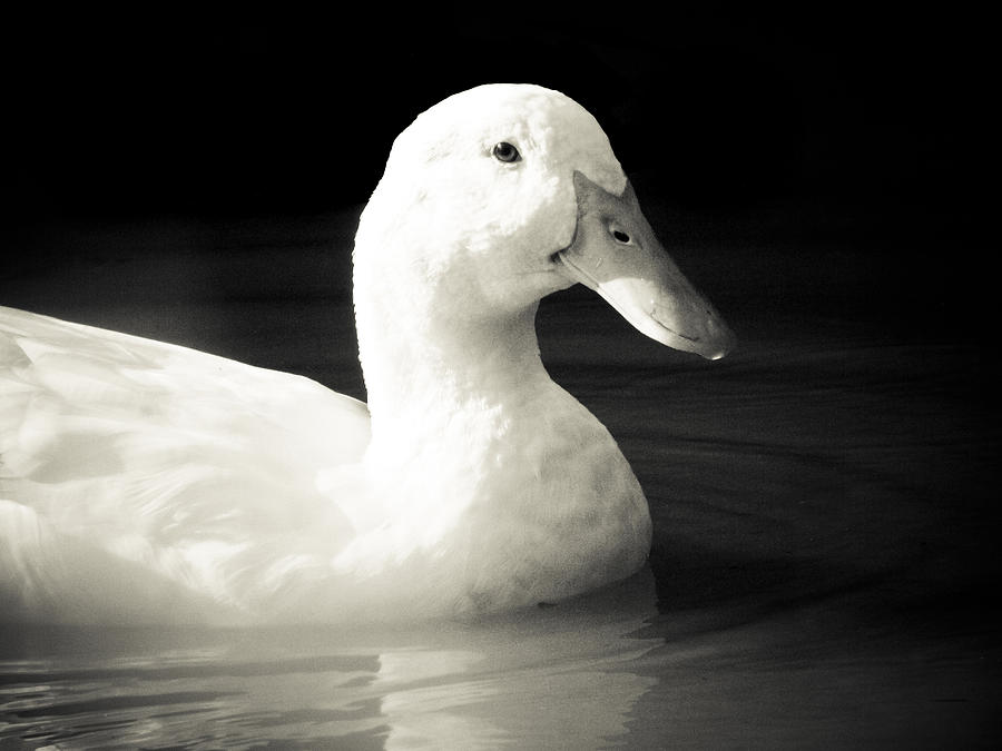 Duck Photograph - Understanding by Jessica Brawley