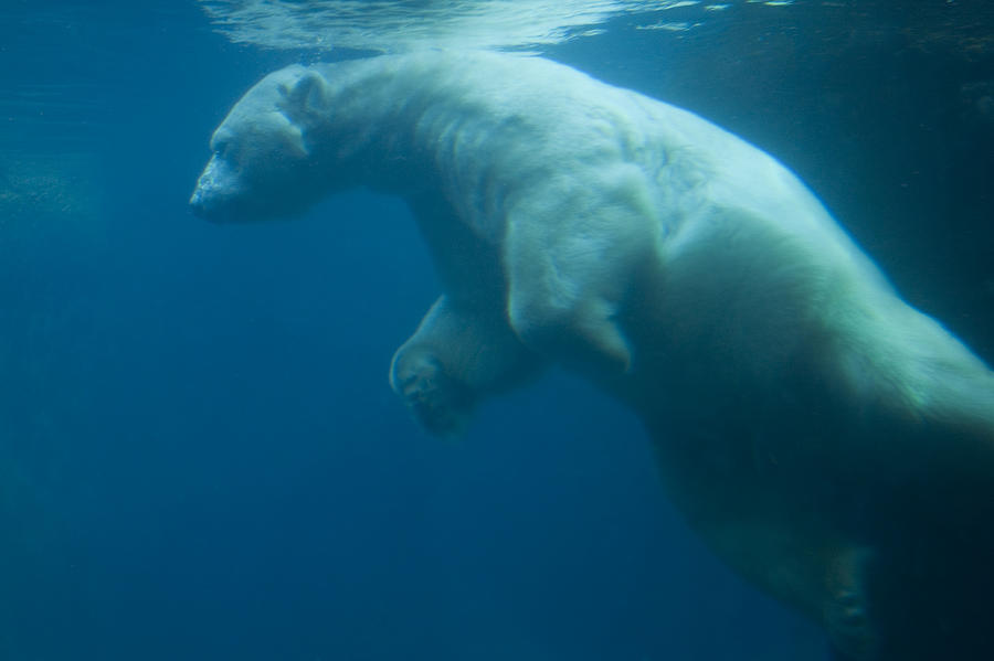 Color Image Photograph - Underwater View Of A Polar Swimming by Ralph Lee Hopkins