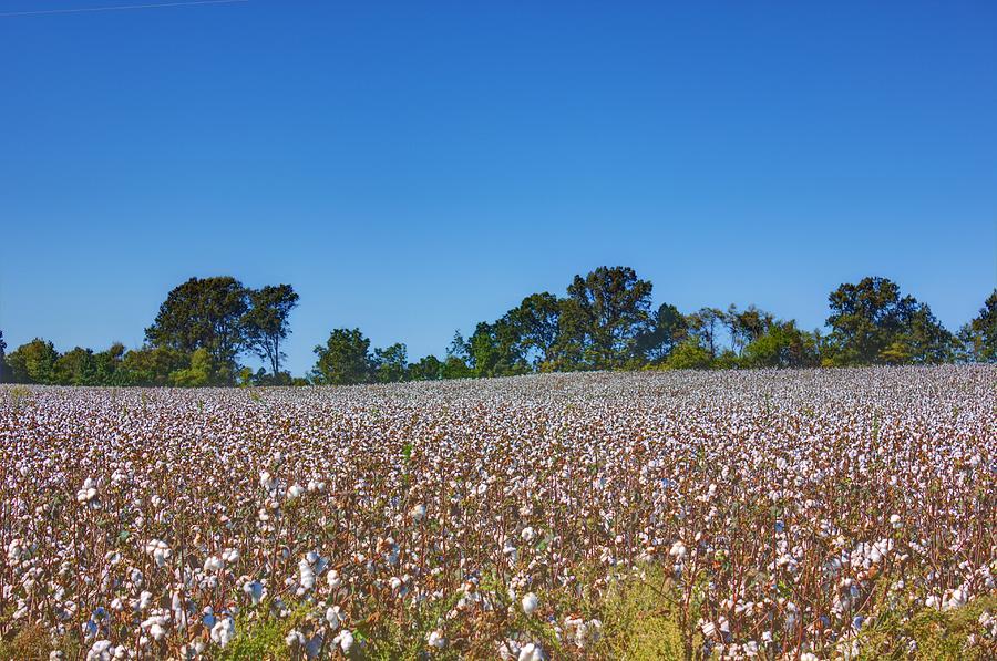 Cotton Field Photograph - Union Grove Cotton Field by Barry Jones
