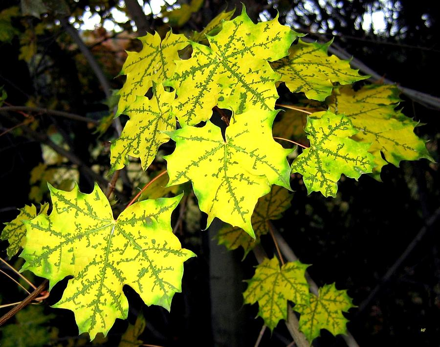 Unique Maple Leaves Photograph By Will Borden