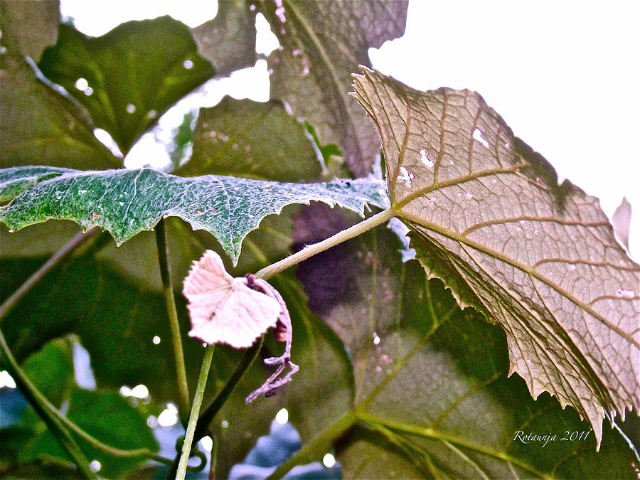Leaves Photograph - Unity by Rotaunja