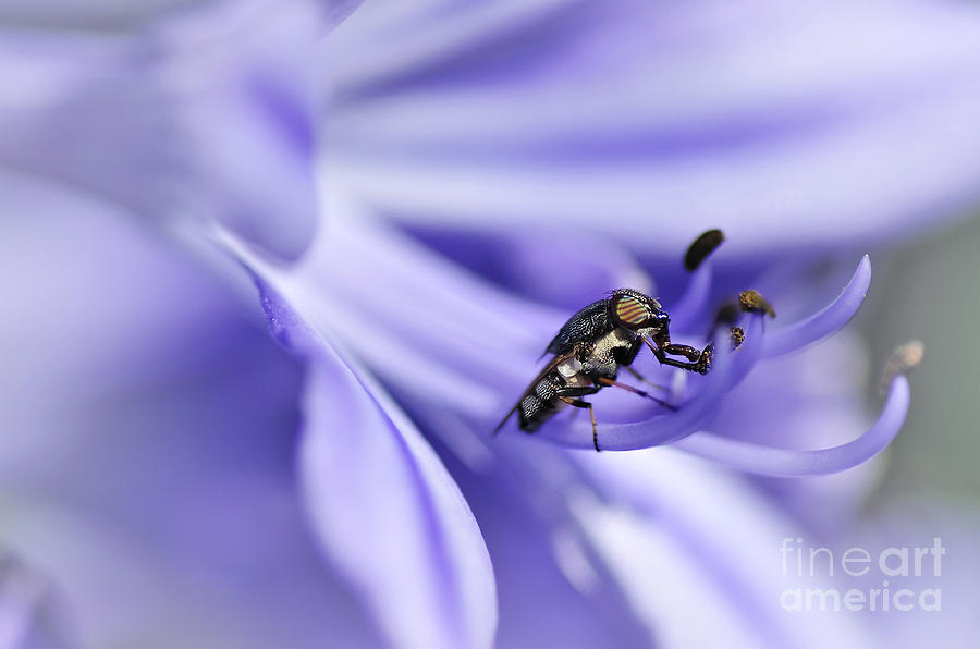 Photography Photograph - Unusual Fly On Agapantha Stamen by Kaye Menner