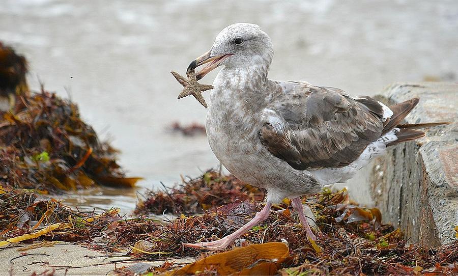 Seagull Photograph - Unwilling Star by Fraida Gutovich