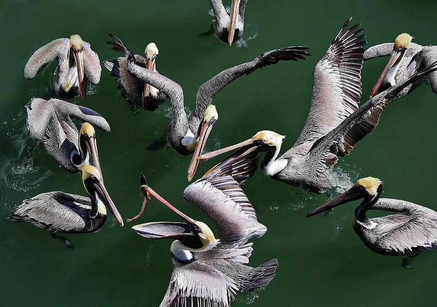 Pelican Photograph - Up In The Air by Paulette Thomas