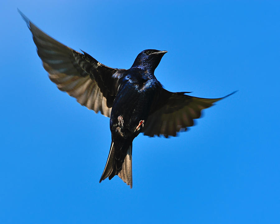 Purple Martin Photograph - Up by Tony Beck