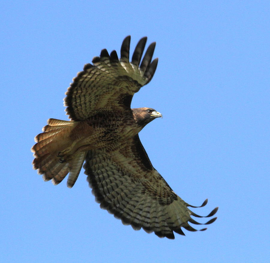 Hawk Photograph - Up Up And Away by Angie Vogel