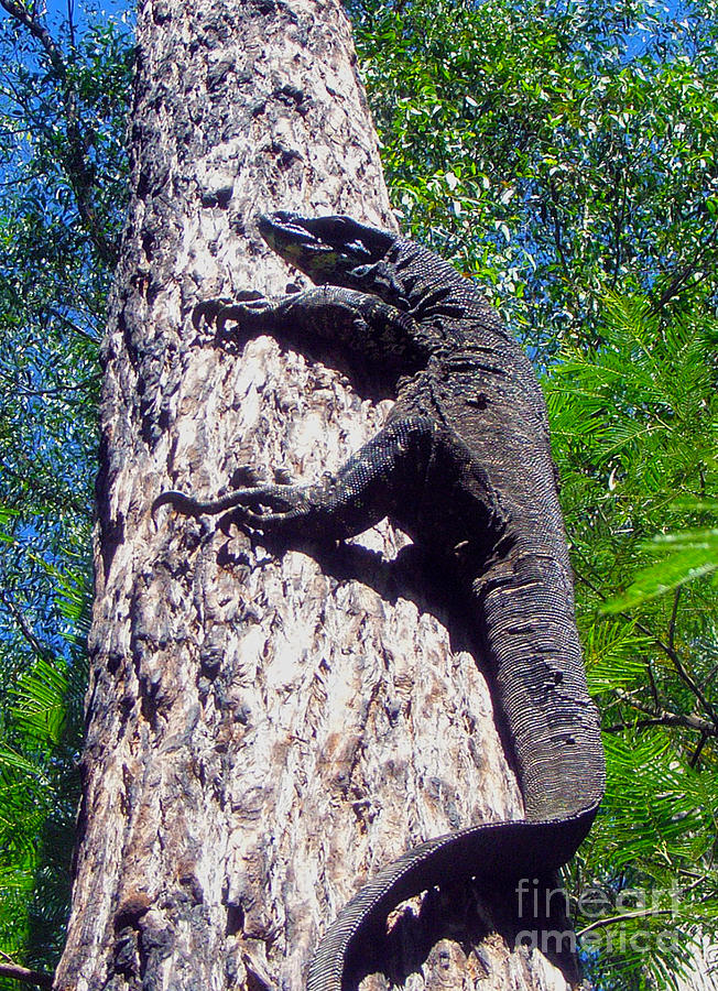 Goanna Photograph - Up Ya Go by Joanne Kocwin