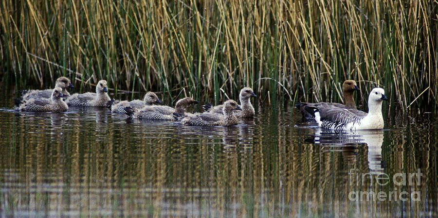 Goose Photograph - Upland Geese - Patagonia by Craig Lovell