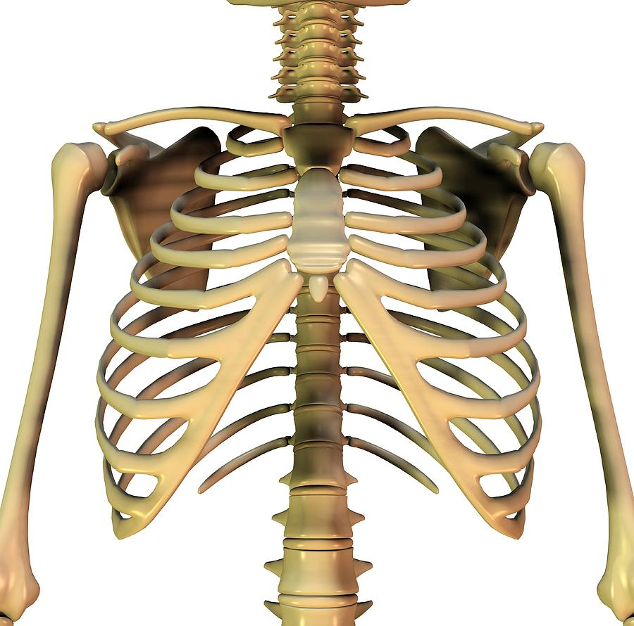 Human Photograph - Upper Torso Bones, Artwork by Friedrich Saurer