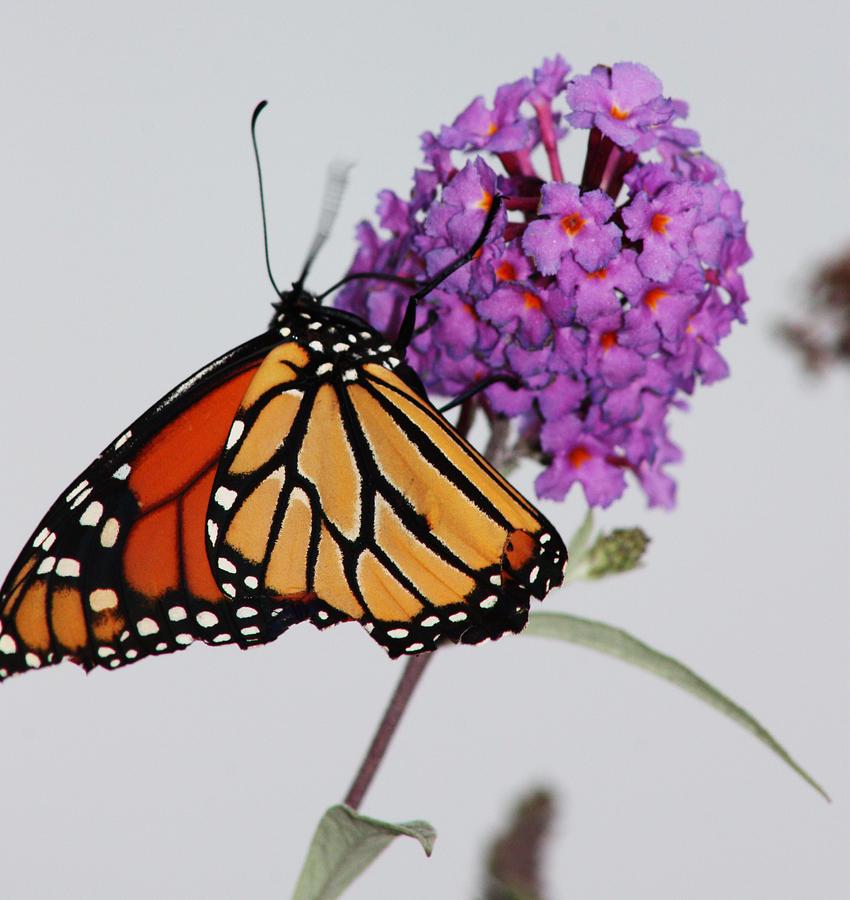Butterfly Photograph - Upside Down by Becca Brann