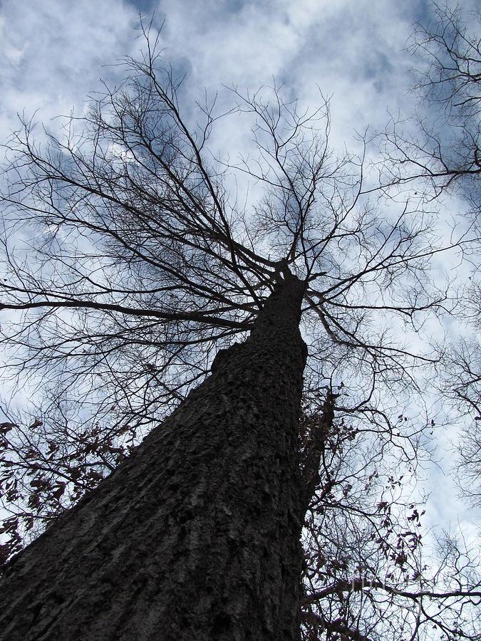 Tree Photograph - Upward by Michele Bishop
