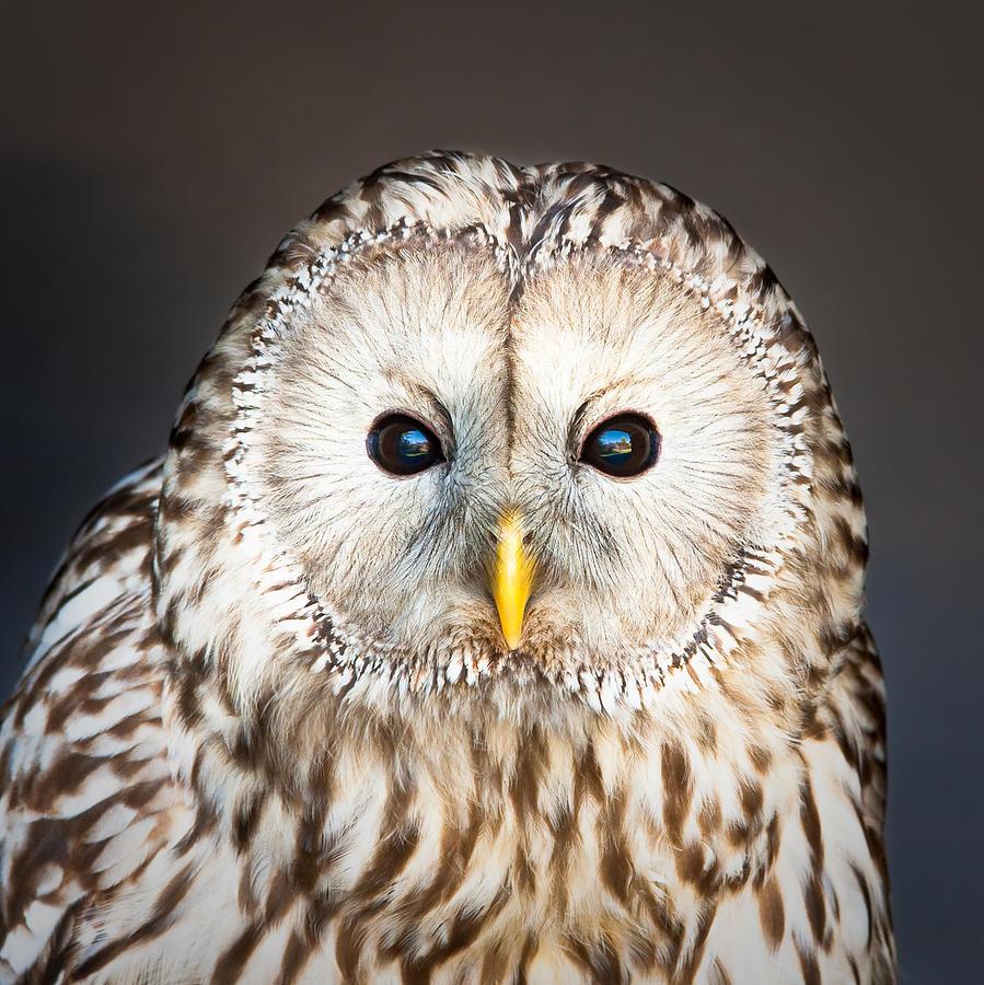 Animal Photograph - Ural Owl by Tom Gowanlock