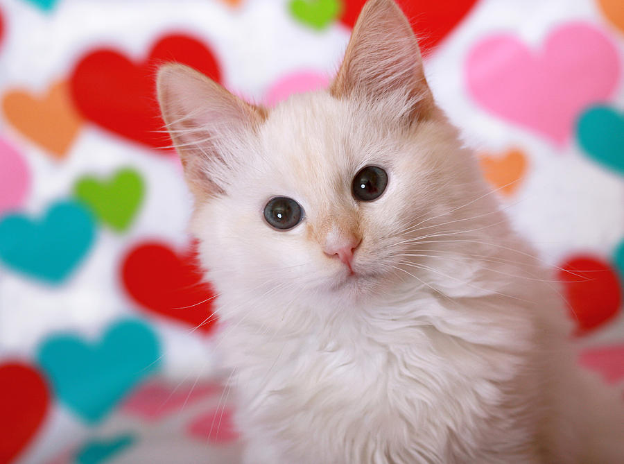 Valentine Kitty Photograph By Deborah Magerr