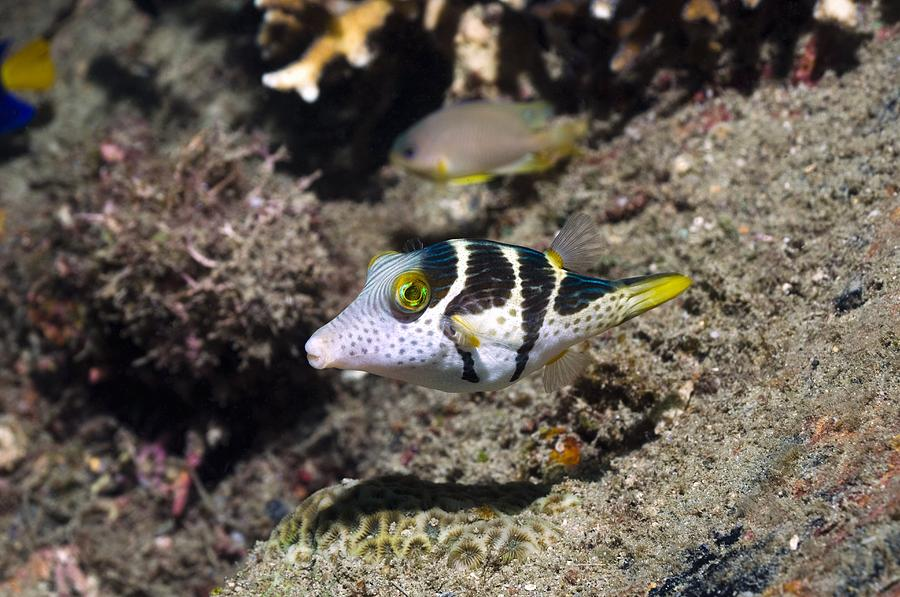 Animal Photograph - Valentinis Sharpnose Puffer by Georgette Douwma