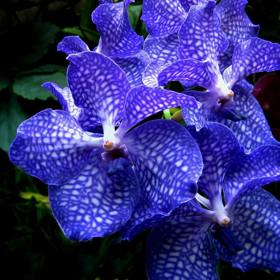 Flower Photograph - Vanda Orchids by Shirley Sirois