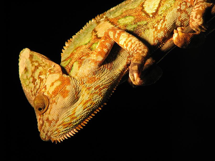 Veiled Photograph - Veiled Chameleon by Samuel Sheats