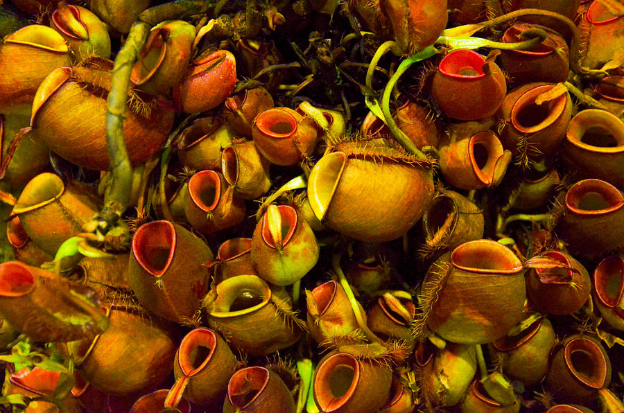 Pitcher Photograph - Venus Fly Trap by Chua  ChinLeng
