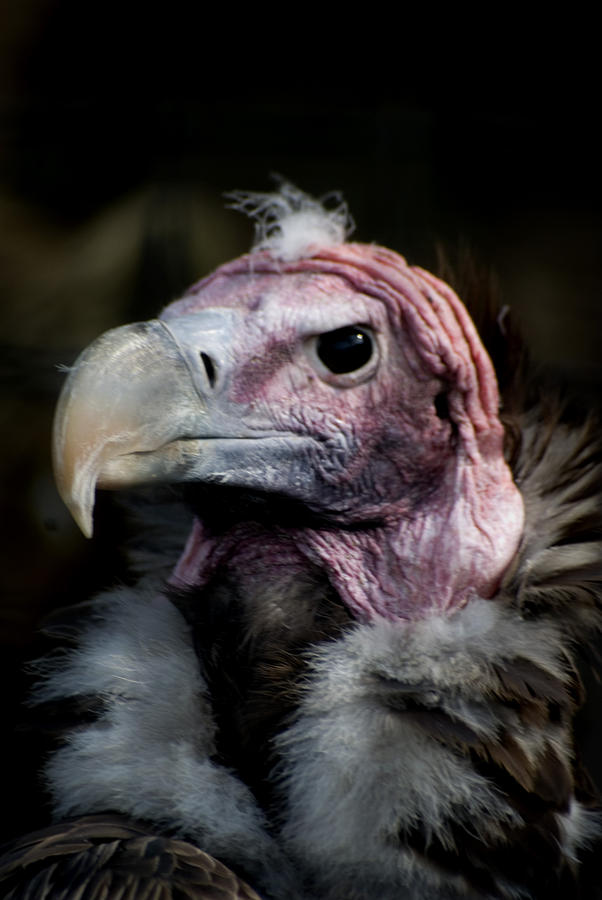 Vera The Vulture Photograph by Peter Jenkins
