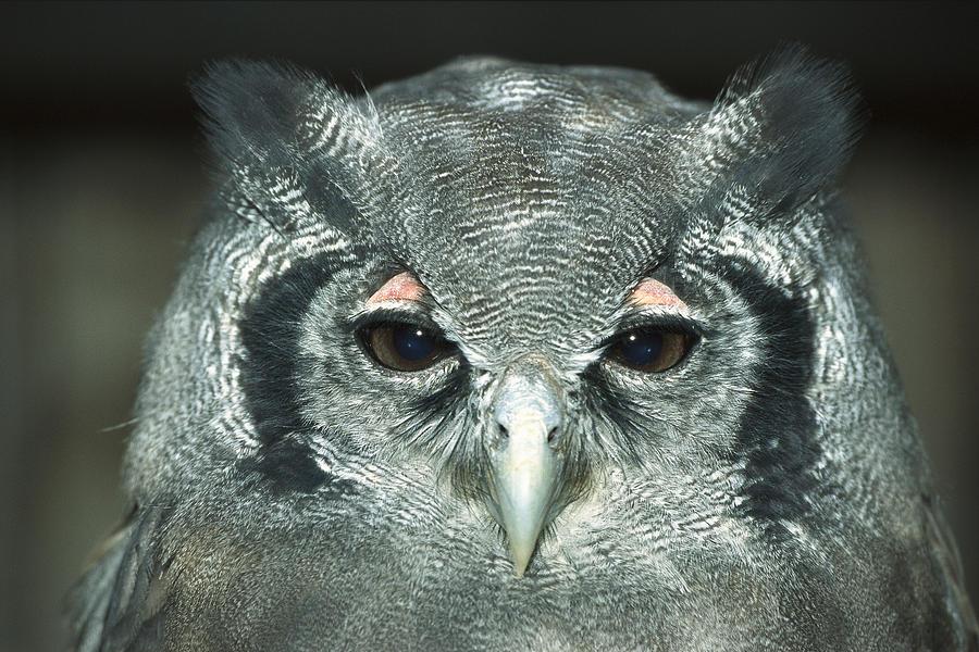 Verreauxs Eagle-owl Bubo Lacteus Photograph by Konrad Wothe