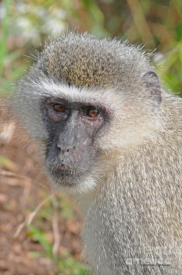 Monkey Photograph - Vervet Monkey by Jonathan Whichard
