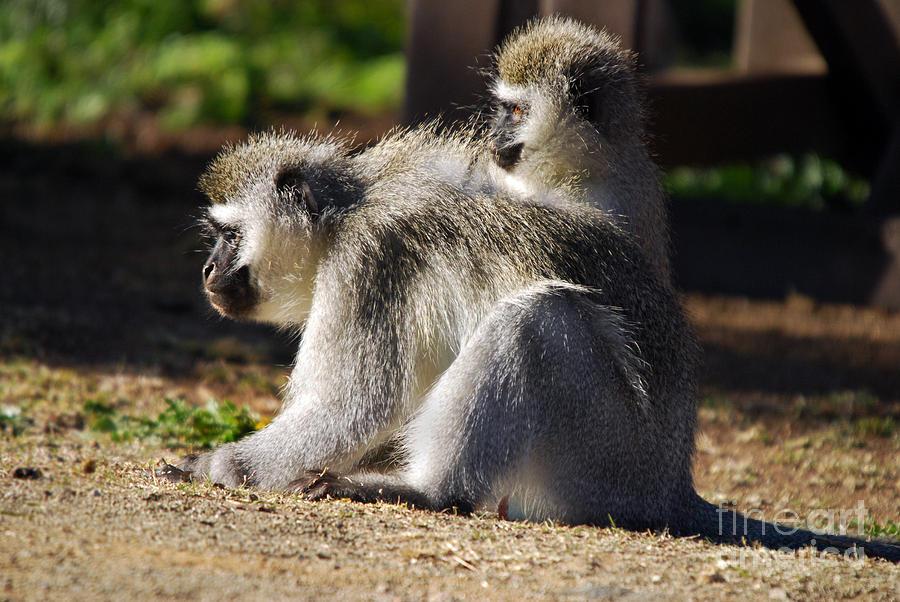 Africa Photograph - Vervet Monkeys  by Alexandra Jordankova