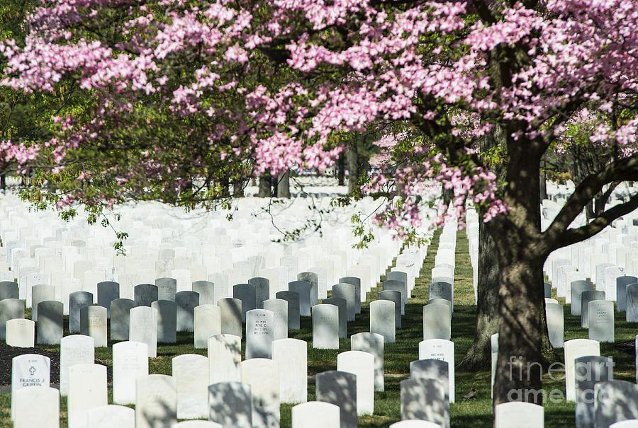 Dogwood Photograph - Veterans National Cemetery by John Greim