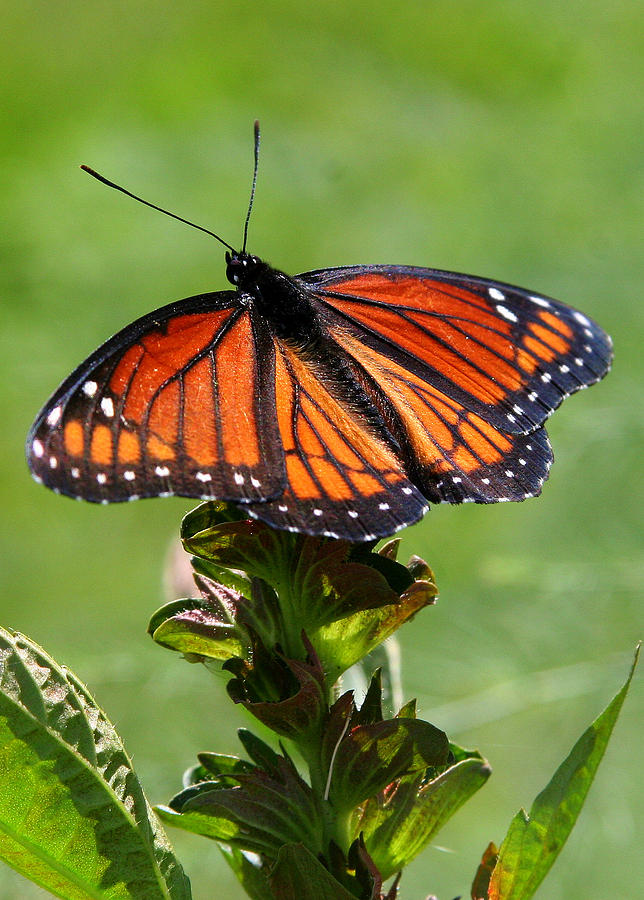 Viceroy Butterfly Photograph - Viceroy Butterfly Number Two by Paula Tohline Calhoun