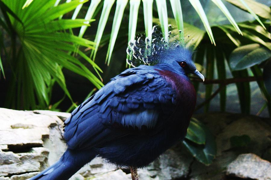 Bird Photograph - Victoria Crowned Pigeon by Paulette Thomas