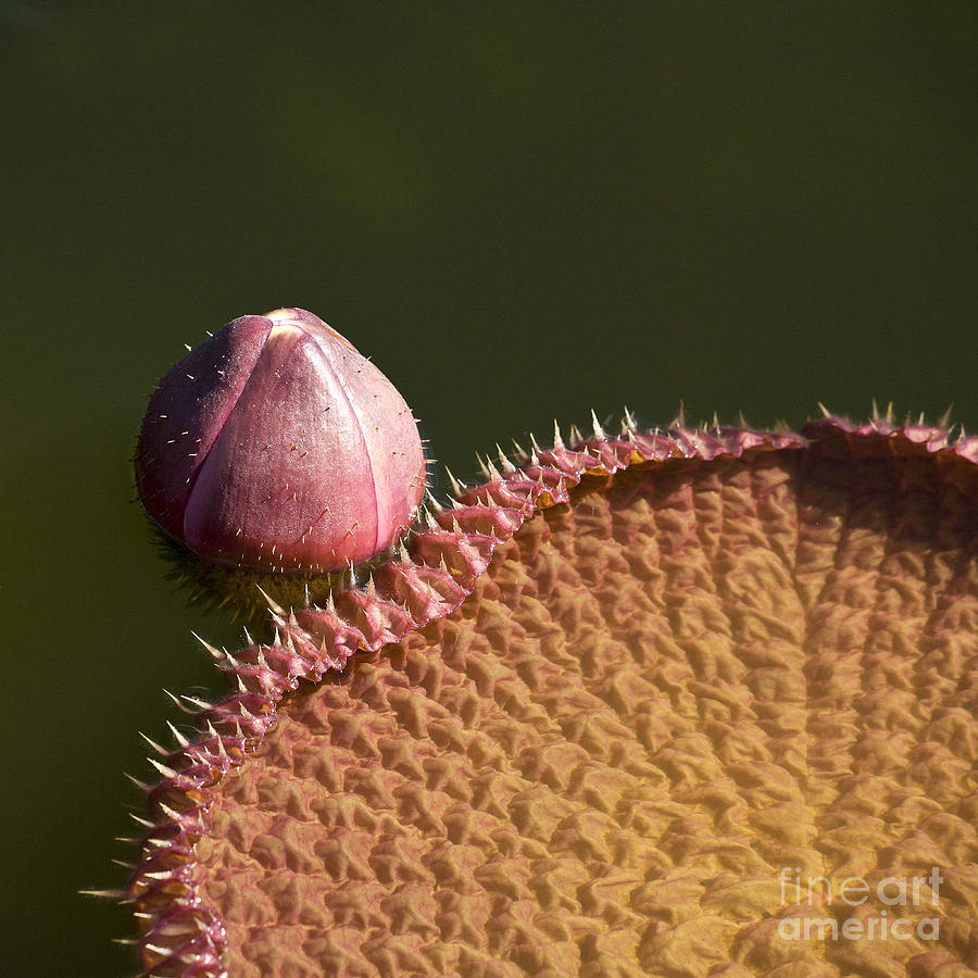 Victoria Amazonica Bud And Leaf Photograph