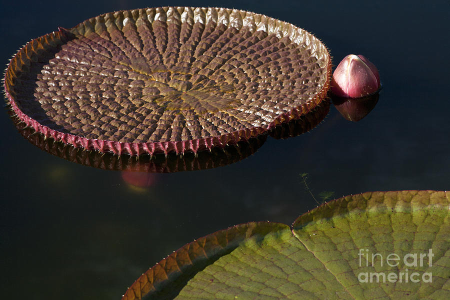 Victoria Amazonica Leaves Photograph
