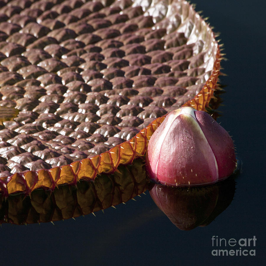 Victoria Amazonica Giant Water Lily Photograph